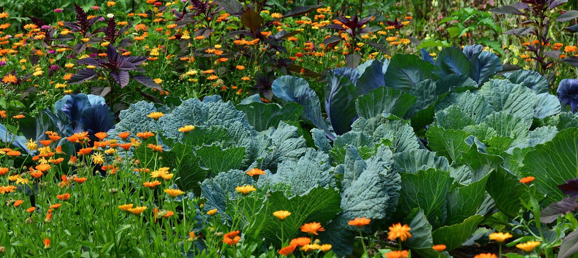 Weißkohl und Ringelblumen in einem naturnahen Garten